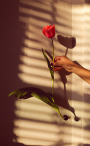 person holding red rose in front of white window blinds